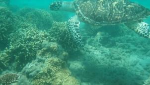 Bà đỡ cho rùa biển ở Côn Đảo