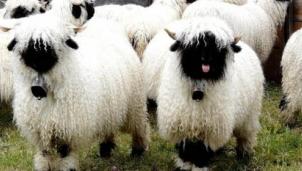 Khám phá lòa Cừu mũi đen có nguồn gốc từ Thụy Sĩ cực hiếm