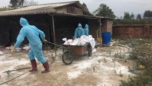 Khoanh vùng, khống chế dịch cúm gia cầm H5N6 tại Quảng Ninh