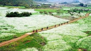 Mộc Châu: Cao nguyên hoa cải trắng tuyệt đẹp