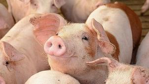 Moody cảnh báo rằng làn sóng dịch tả lợn châu Phi thứ hai