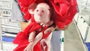 Ngành chăn nuôi lợn trên toàn thế giới có gì mới?