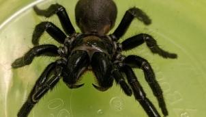 Nghiên cứu dùng nọc độc nhện cứu người nhồi máu cơ tim