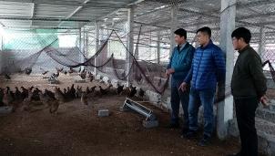 Quảng Bình: nuôi chim trĩ hiệu quả với mô hình mới