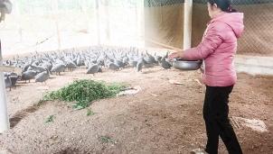 Quảng Trị: Mô hình chăn nuôi gà sao cho hiệu quả cao