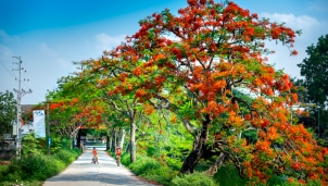 Mùa hoa phượng rực rỡ ở Trường Yên, điểm check in của mùa hè