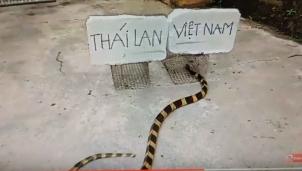 """""""Rắn tiên tri"""" dự đoán đội tuyển Việt Nam thắng Thái Lan"""