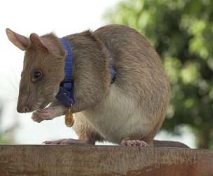 Huy chương vàng cho thành tích dò mìn của chú chuột Magawa