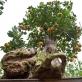 Lạ mắt trước Quất ghép gỗ lũa khiến nhiều đại gia phải đặt trước cả tháng
