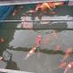 Hiện tượng cá Koi chết trên sông Tô Lịch cần hiểu thế nào cho đúng?