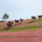 Mùa cỏ hồng - Một nét đẹp mới của cao nguyên Lang Biang
