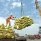 Cập nhật giá gạo chiều ngày 11/12: Gạo Việt xuất khẩu giữ mức cao