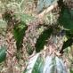 Châu chấu tre lưng vàng từ Trung Quốc tràn sang Việt Nam phá hoại