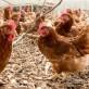Đàn gà bị stress dễ sản sinh ra đời sau có tỷ lệ con mái cao hơn