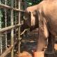 Hành trình kỳ diệu thoát chết vì dính bẫy của những kẻ săn voi
