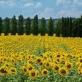 Những cánh đồng hoa đẹp nhất thế giới