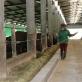 Quảng Ninh: Hiện có 240 trang trại chăn nuôi