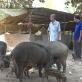 Tổ hợp tác nuôi heo rừng của các cựu chiến binh điểm sáng trong chăn nuôi