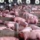 Việt Nam là quốc gia đầu tiên sắp nghiên cứu thành công vaccine dịch tả lợn châu Phi