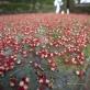 Cây Lộc Vừng: Cây di sản ở Cẩm Khê trải thảm đỏ mùa hoa nở