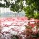 """Lung linh hồ Gươm """"rợp đỏ"""" vào mỗi mùa hoa lộc vừng nở"""