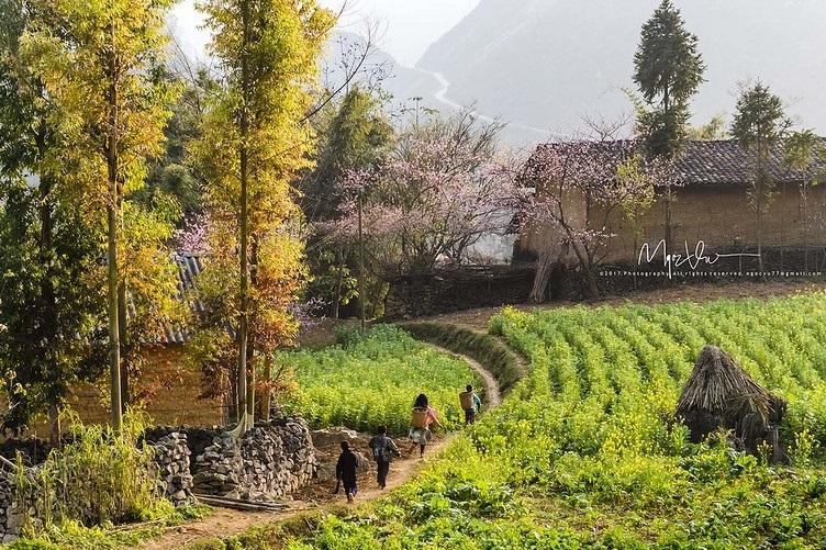 Những cây đào Mùa Xuân nở rực đỏ bên hiên nhà