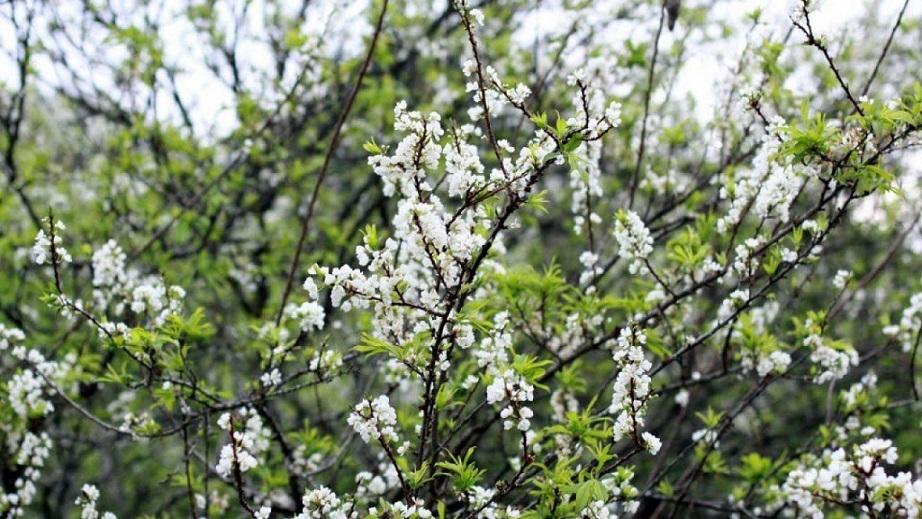Hoa Đào Mùa Xuân